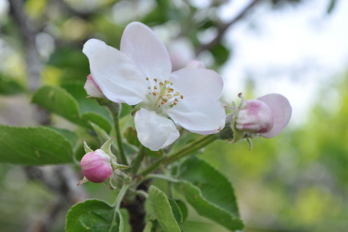 яблони в цвету... - Александра Невзорова