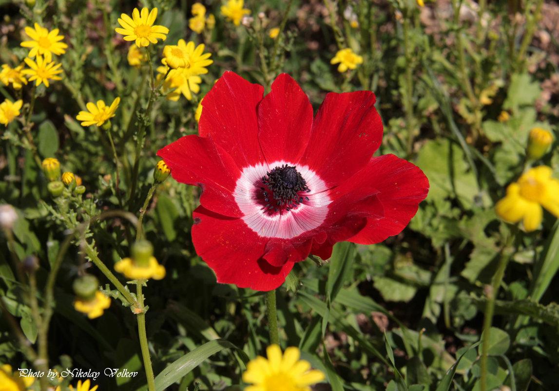 Зимние цветы Израиля - Николай Волков