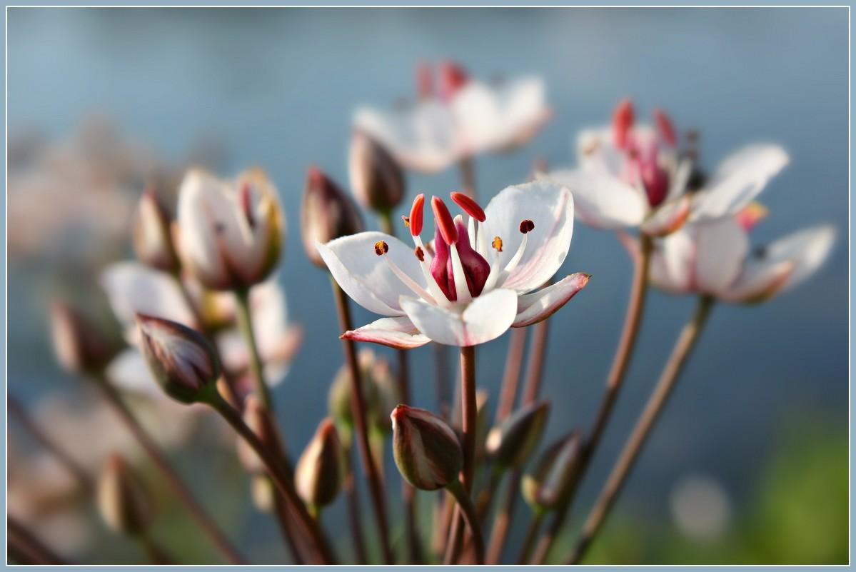Камыш цветка