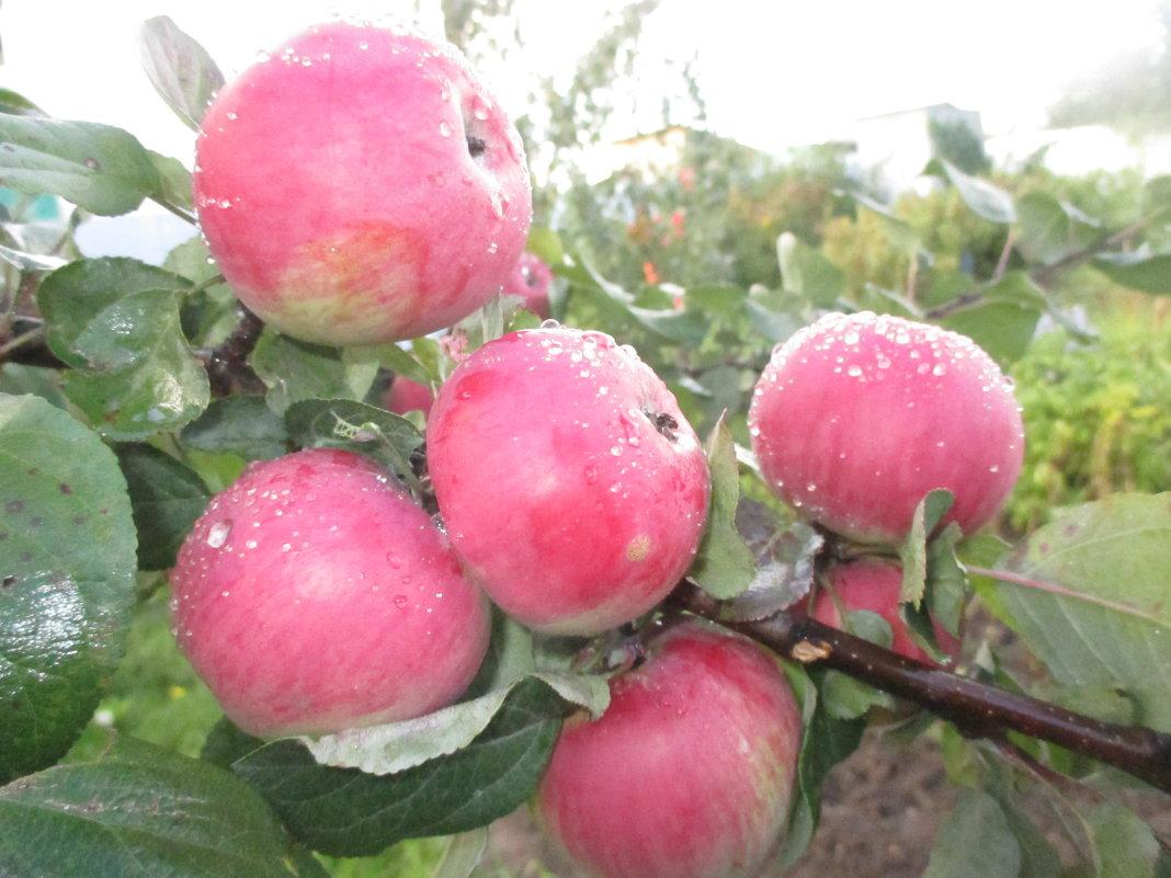 Румяные яблочки. - Valentina