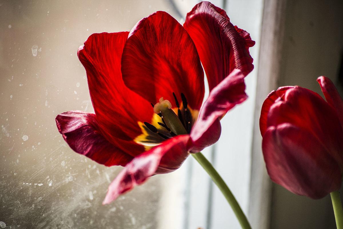тюльпан - Анна Брацукова