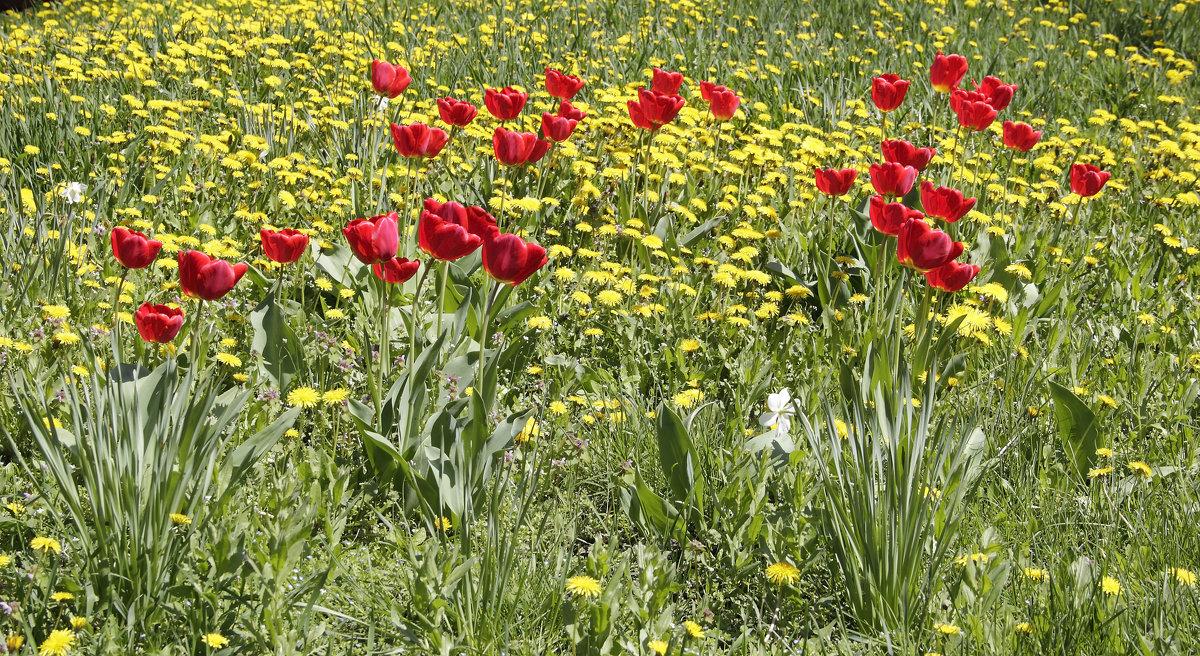 Тюльпаны - Олег