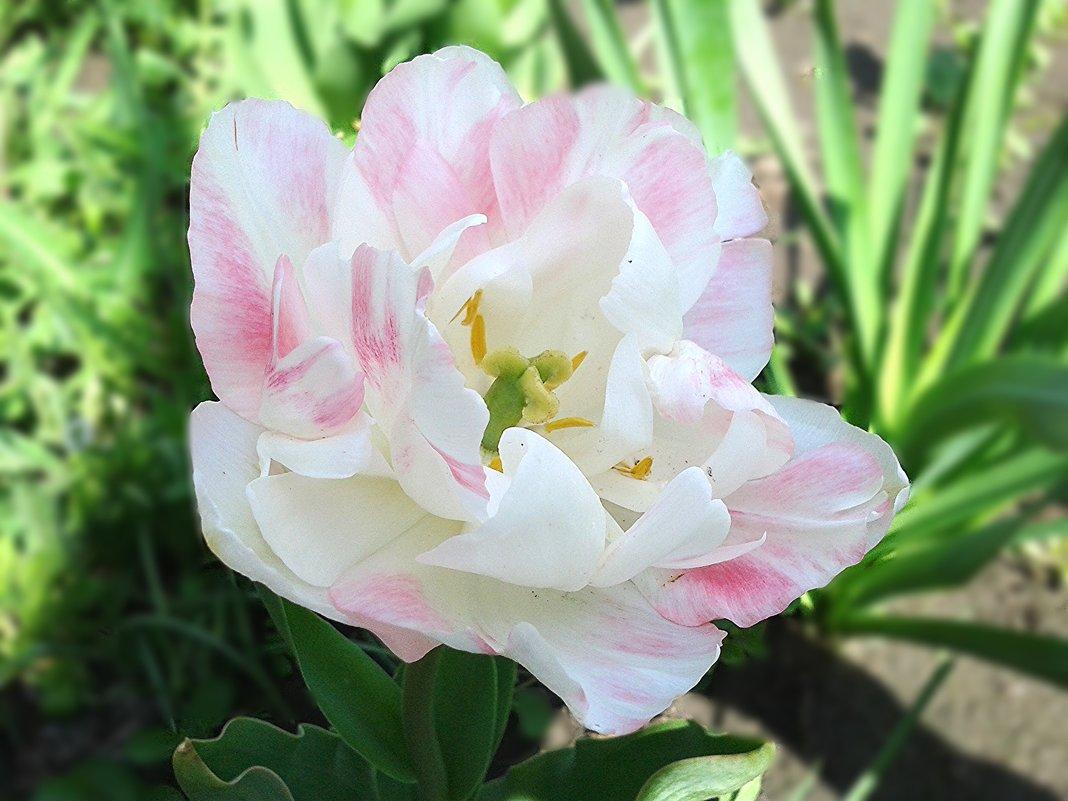 Тюльпан Finola - Татьяна .