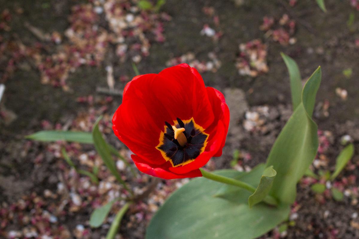 тюльпан - жанна