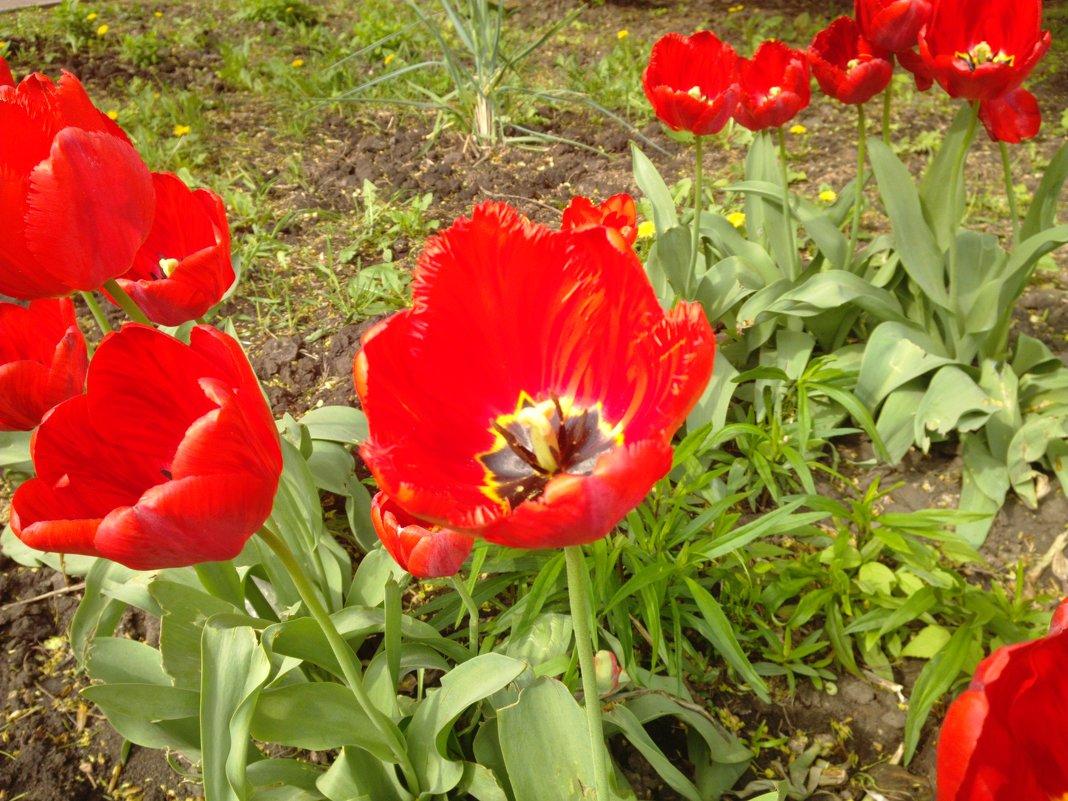 Тюльпан - Serg