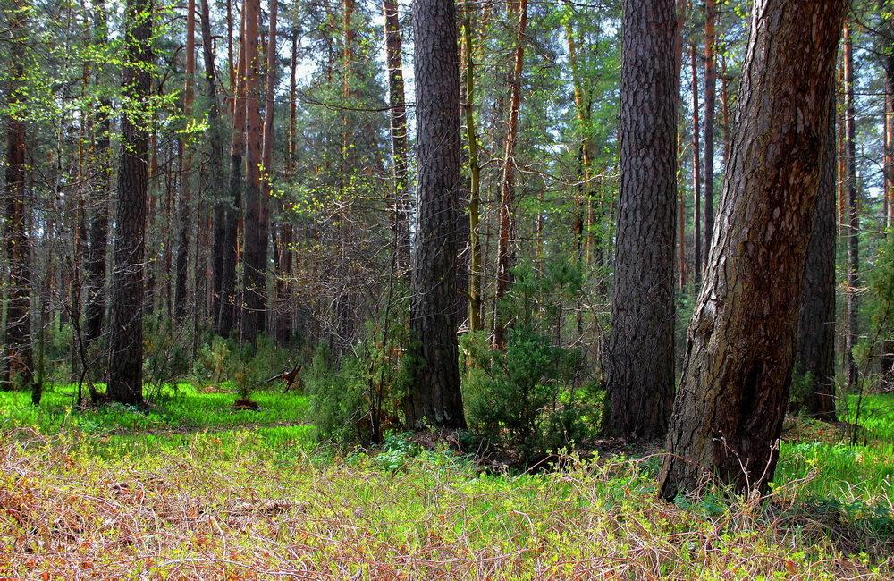 Дурманит лес весенней новизною... - Лесо-Вед (Баранов)