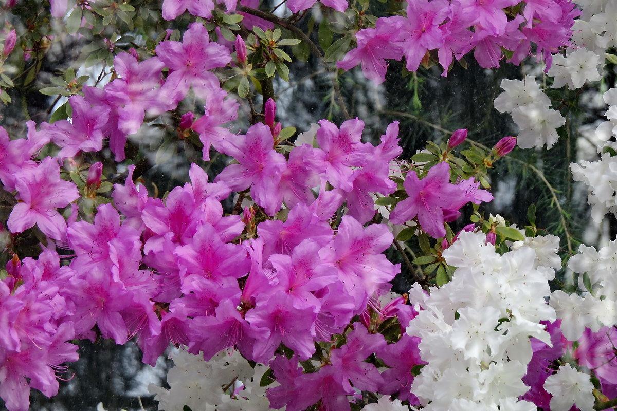 Цветут азалии - Светлана Петошина