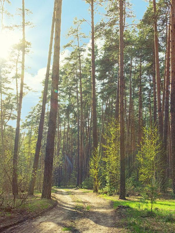 утро в сосновом лесу - Алиса Терновая