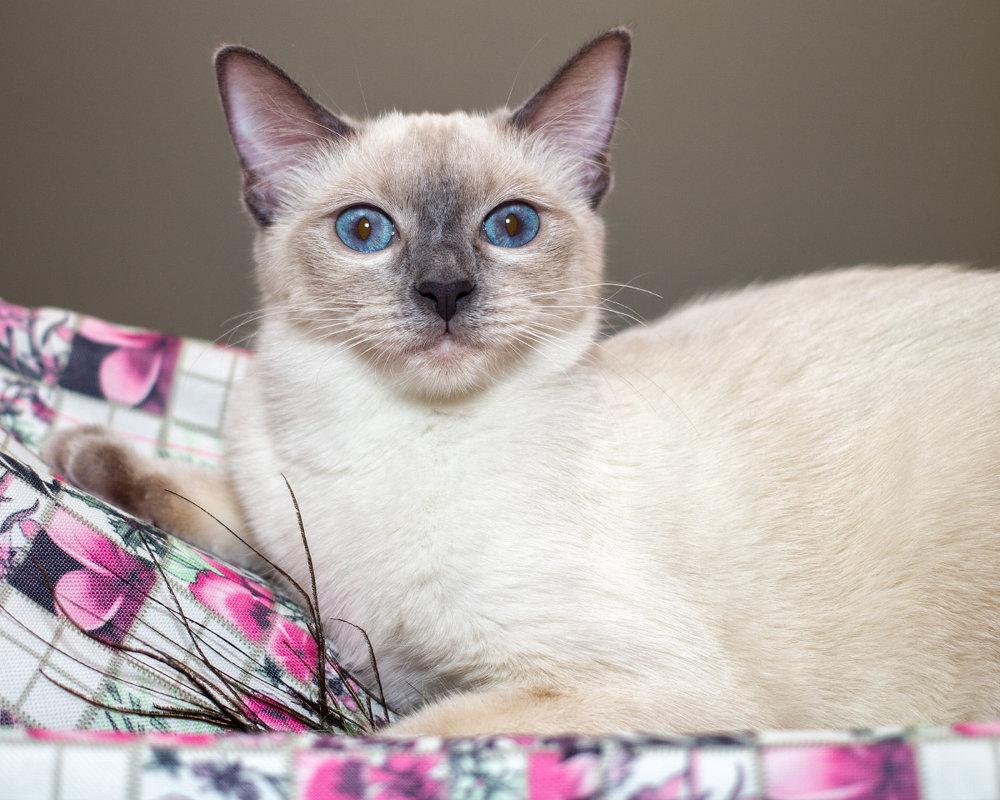 Тайская кошка - Наталия Крыжановская