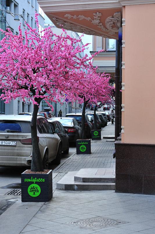 Сакура в московском переулке - Виктор Берёзкин