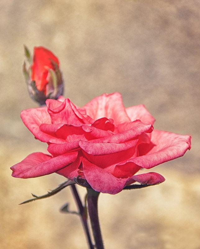 розовая роза - Алиса Терновая
