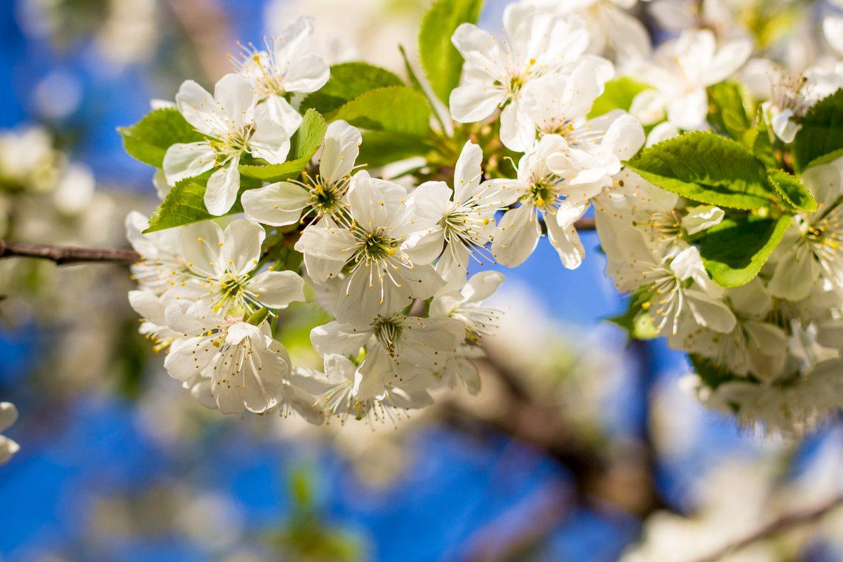 Вишня цветёт - Сергей Малый