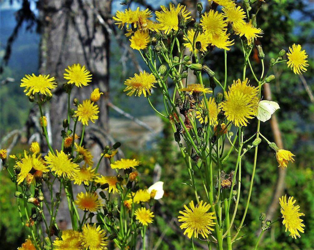 Бабочки на жёлтых цветах - Сергей Чиняев