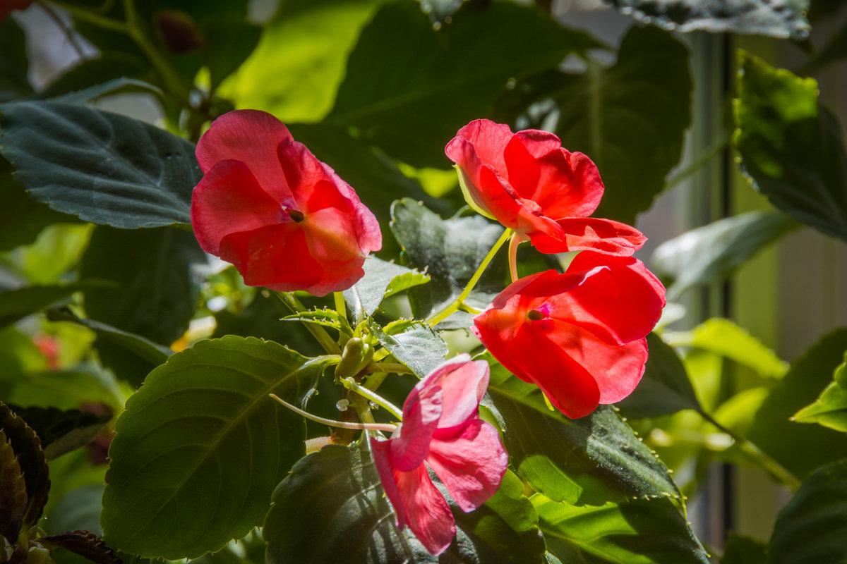 Цветок ванька мокрый польза и воздействие на человека