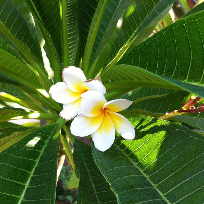 Белые цветки плюмерии - Ирина
