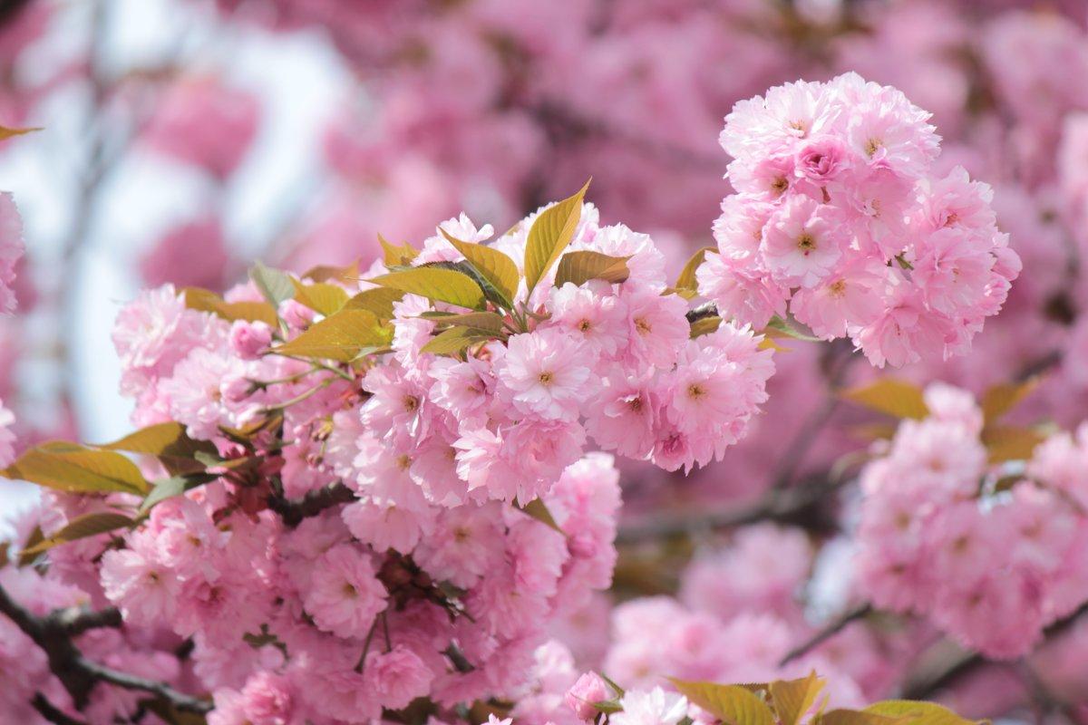 Цвет сакуры - Марина Кит