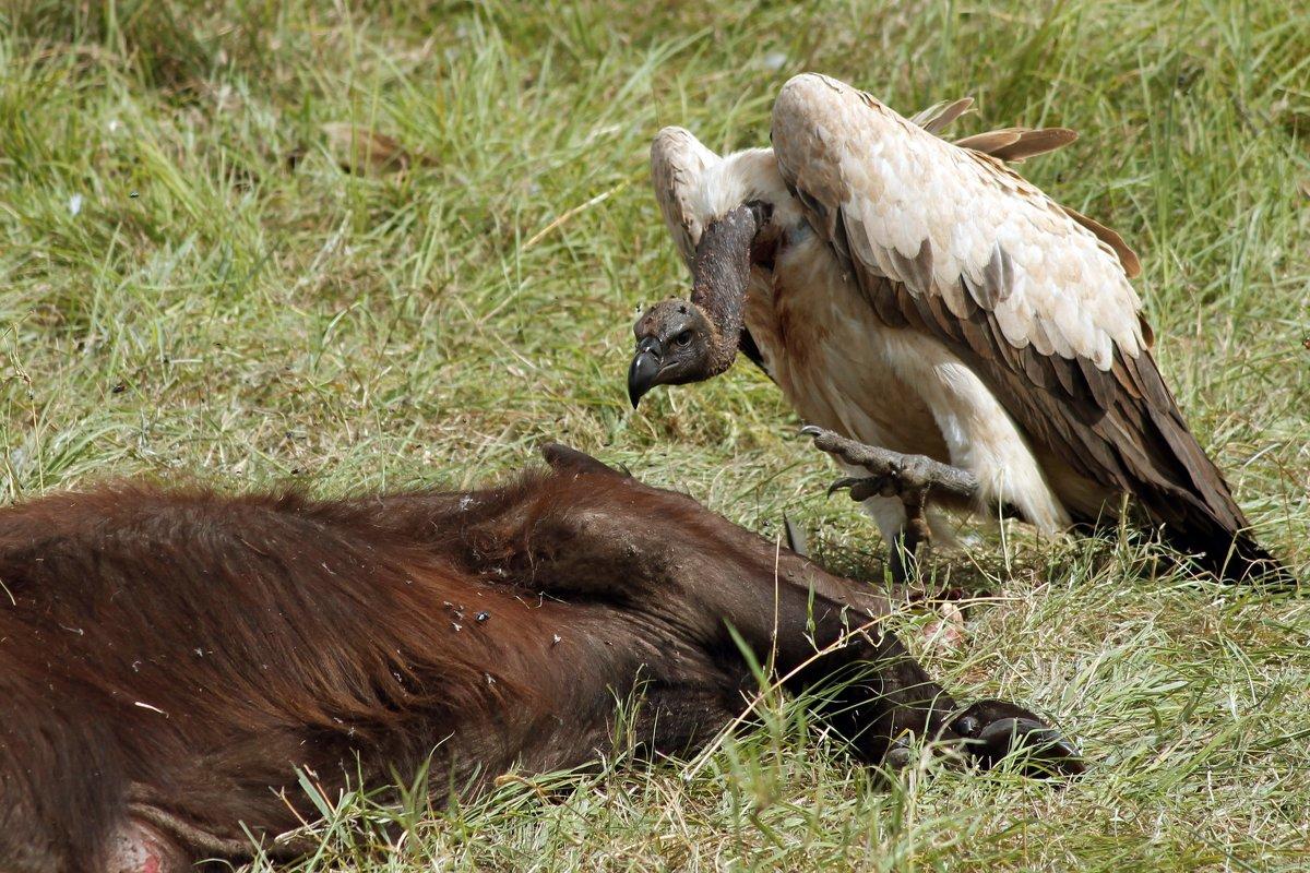 Гриф - птица голодная - Виктор Кац