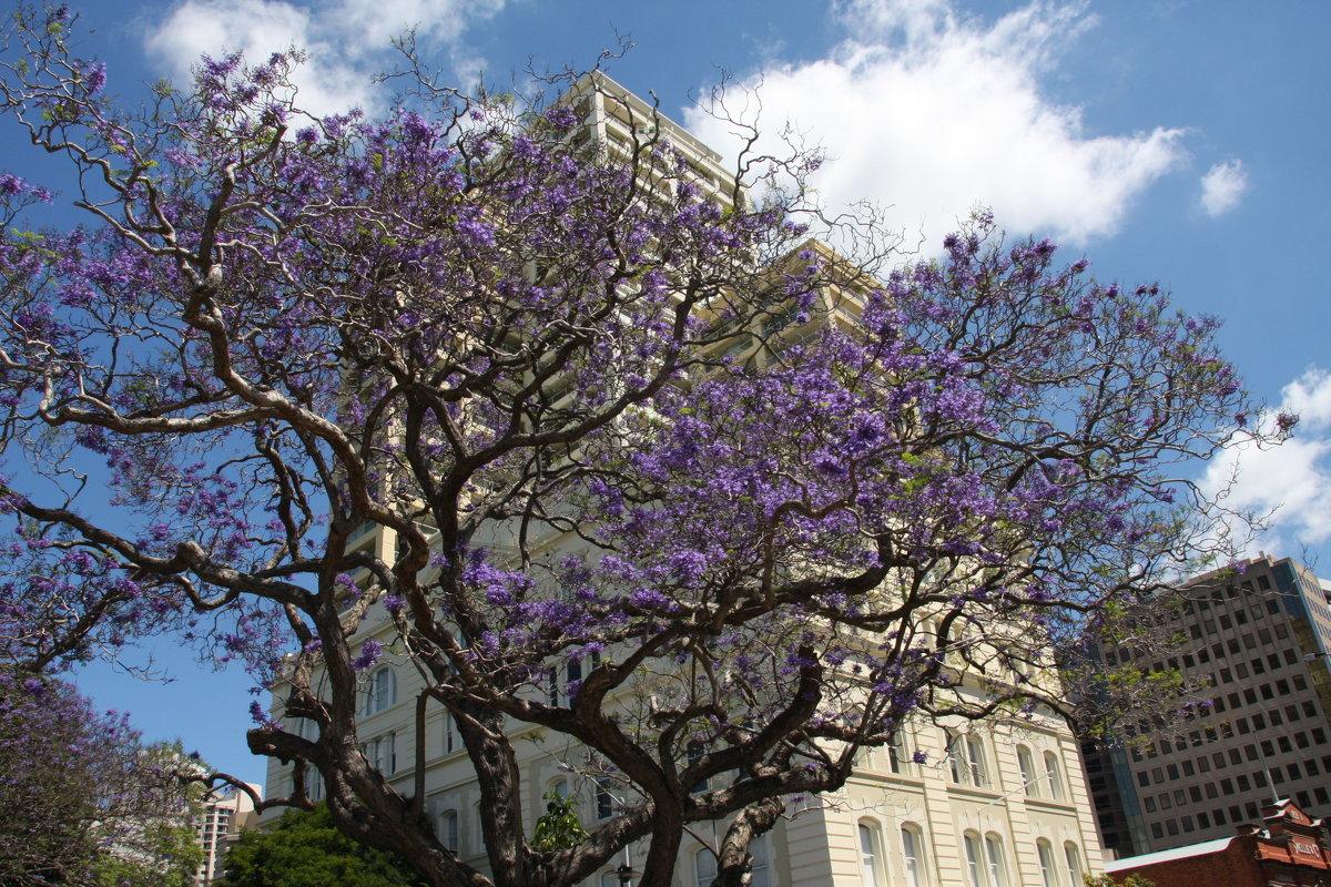 В Брисбене зацвела Жакаранда.Австралия - Антонина