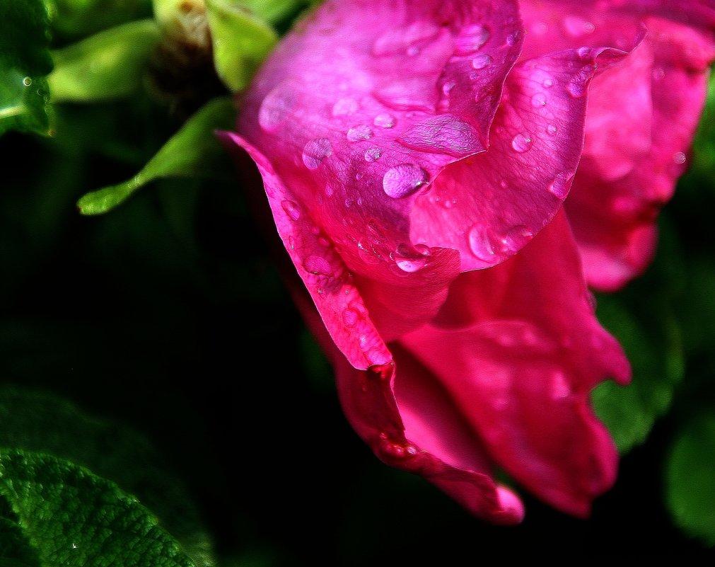 Шиповник ...  после дождя.... - Валерия  Полещикова