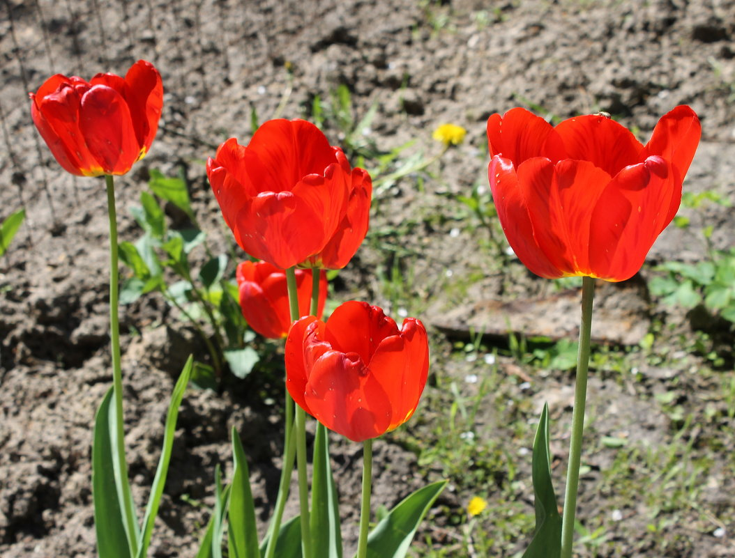 Красные тюльпаны, как огонь горят. - Валентина ツ ღ✿ღ