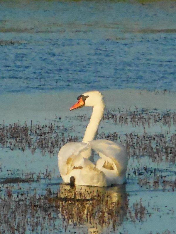 лебедь самец - игорь