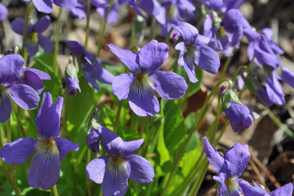 Первые цветы - Иван Торопов