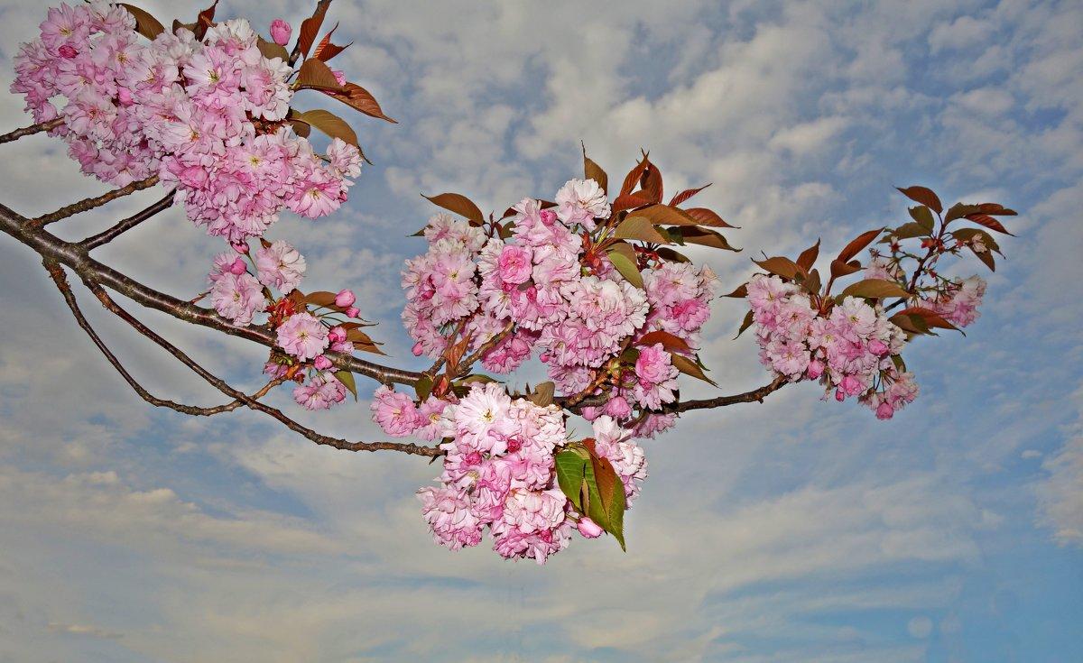"""""""Вишен цветы Будто с небес упали ..."""" - Galina Dzubina"""