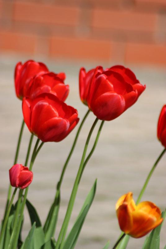 Красные тюльпаны. - Ирина Королева