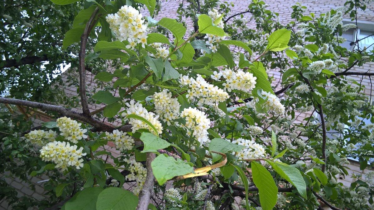 Один раз в год сады цветут....... - Лена