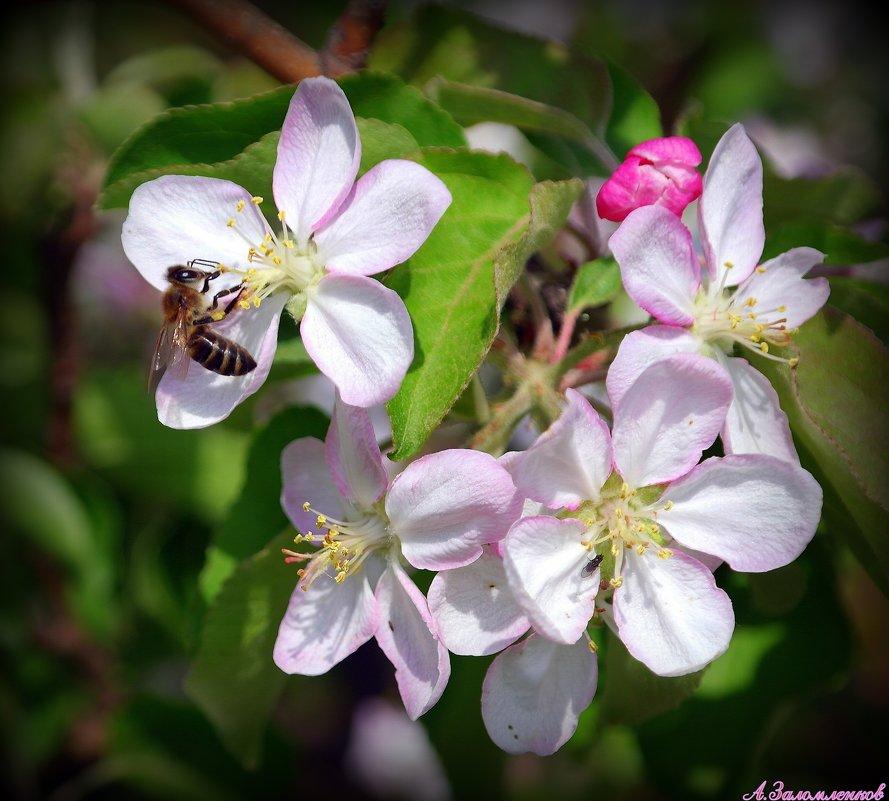 Весны цветение - Андрей Заломленков