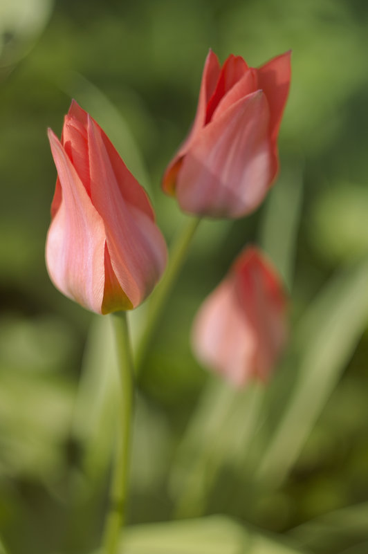 Тюльпаны - AllaSaa