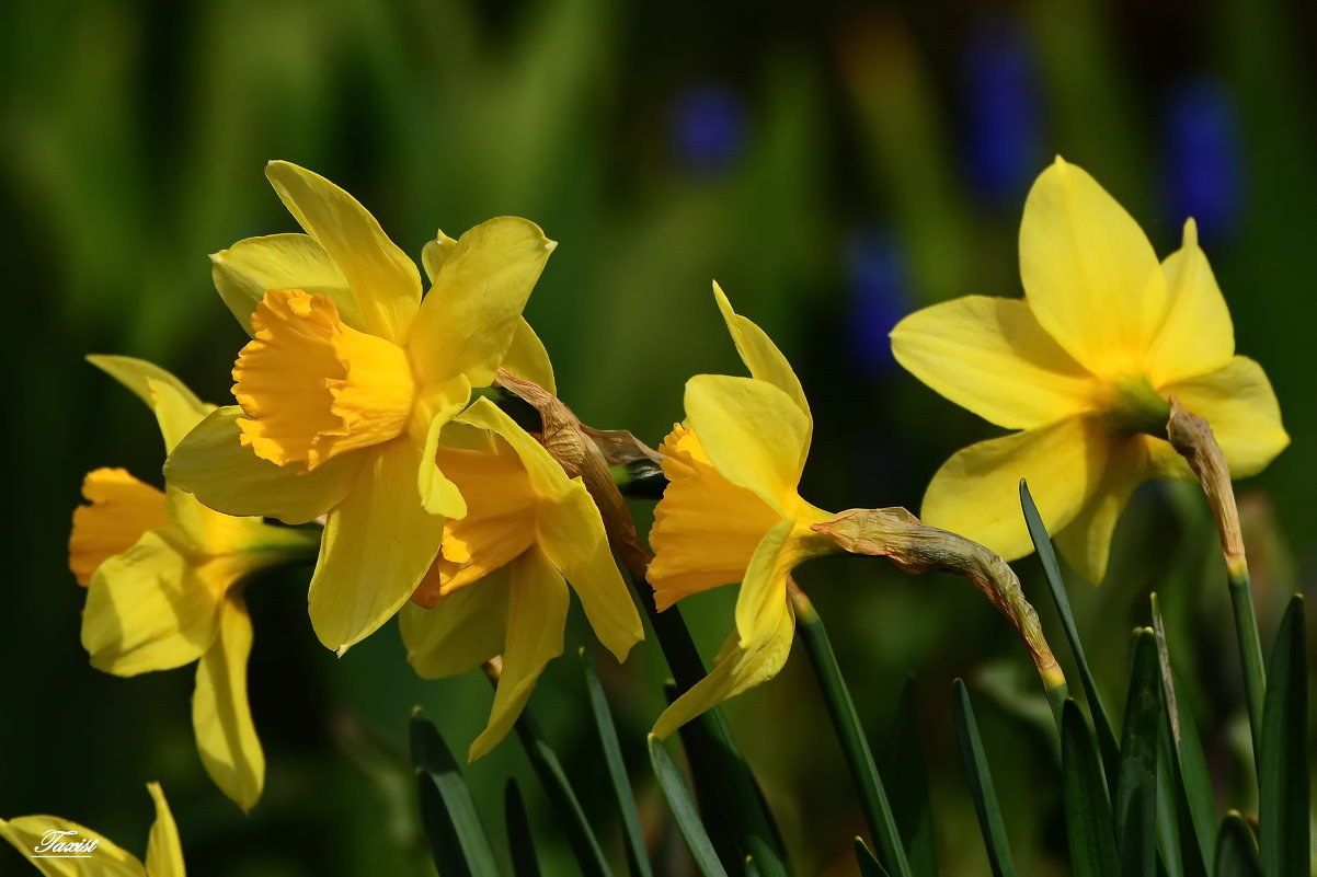 Жёлтого мая цветы - Paparazzi