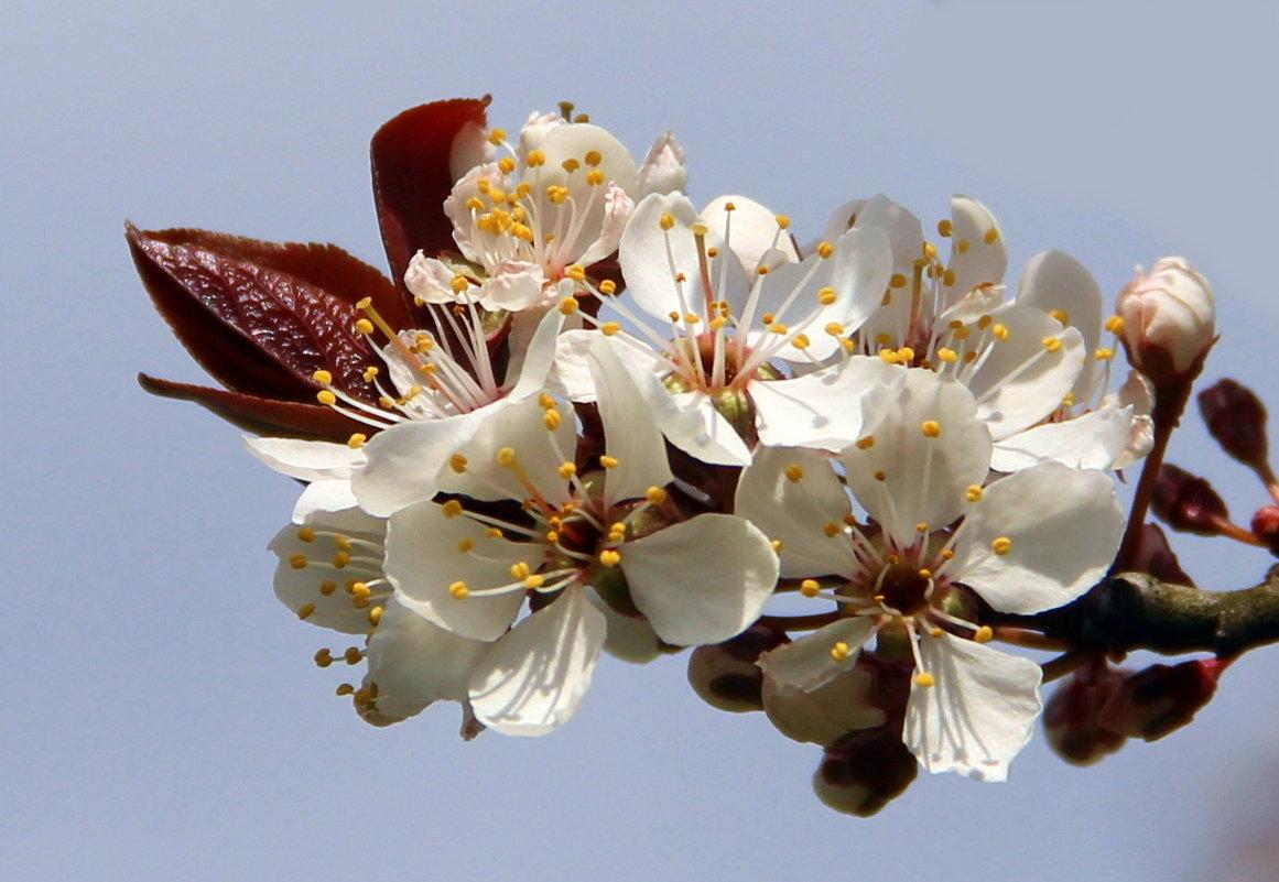Слива с коричневыми листьями - Вячеслав Минаев