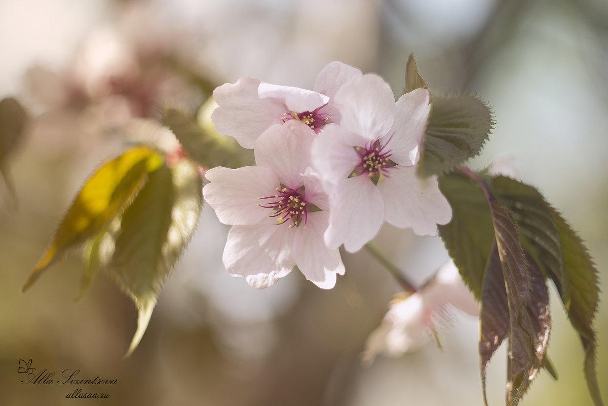 Цветение сакуры - AllaSaa