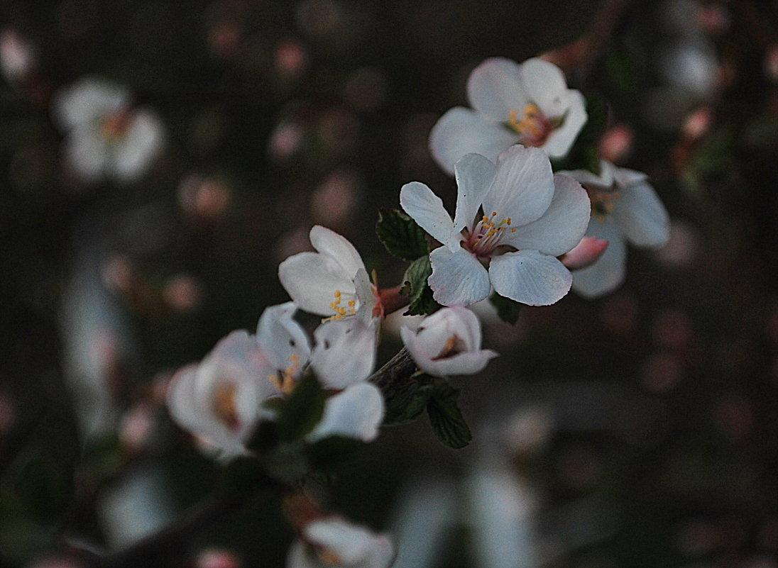 Ветка войлочной вишни - Николай Масляев