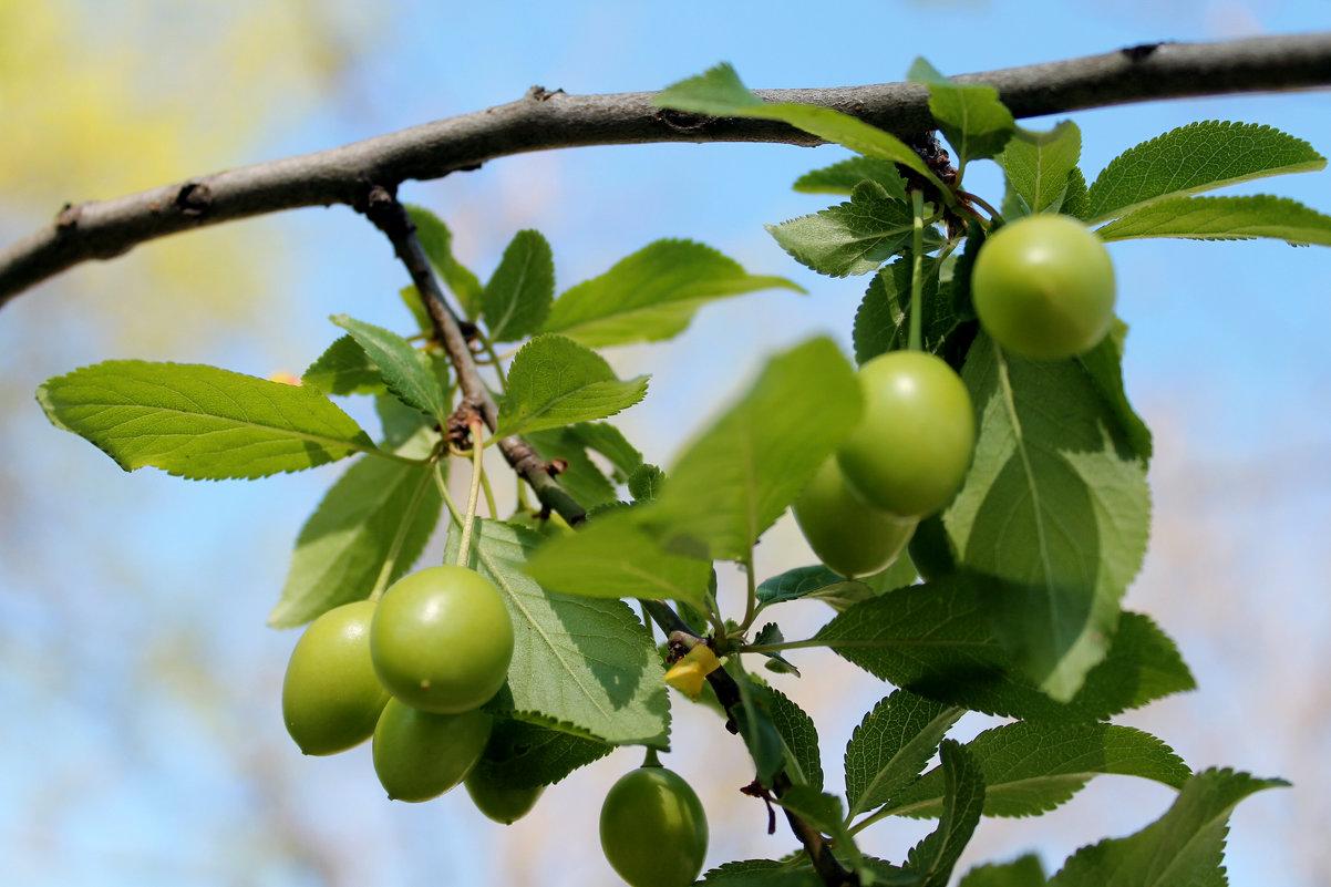 плоды черешни в мае - elena manas