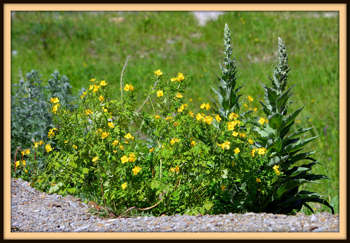 желтые цветы у дорогои вызову