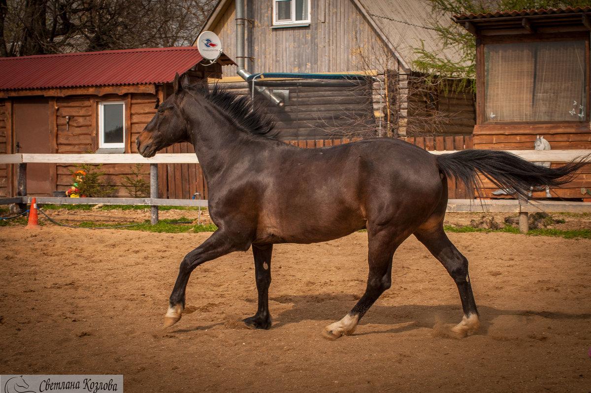карачаевская порода лошадей видео верность