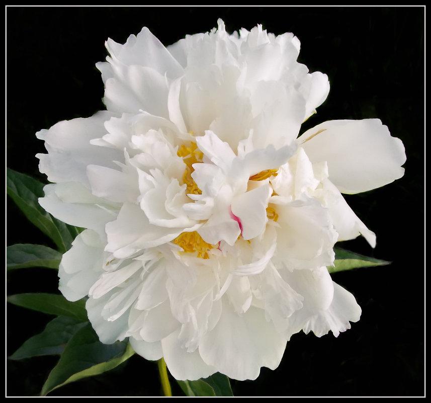 Белый пион - lady v.ekaterina