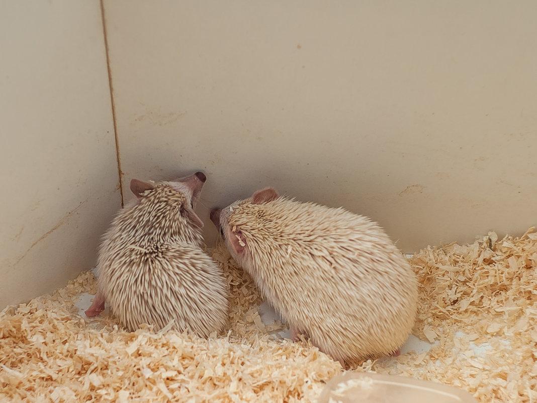 Ёжики альбиносы - Анастасия