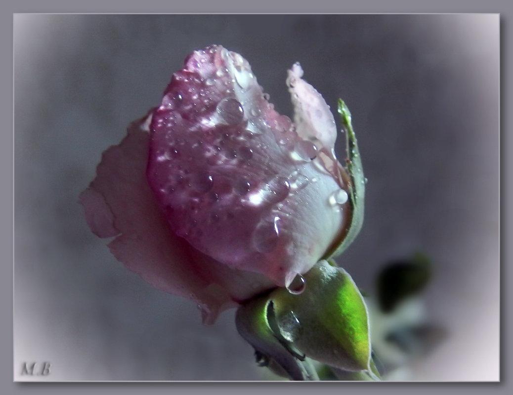 Капля росы в бутоне розы.... - Людмила Богданова (Скачко)