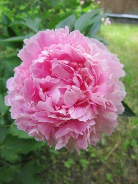 Розовый пион - Дмитрий Никитин