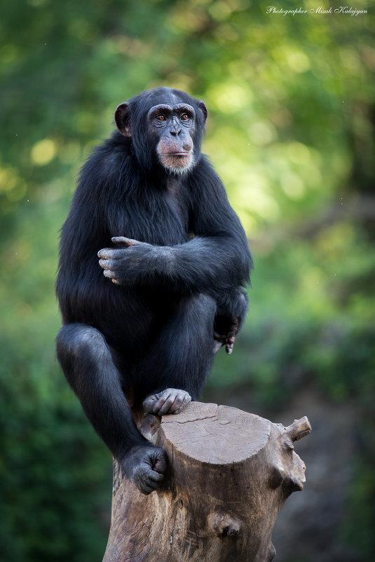 Шимпанзе... - Мисак Каладжян