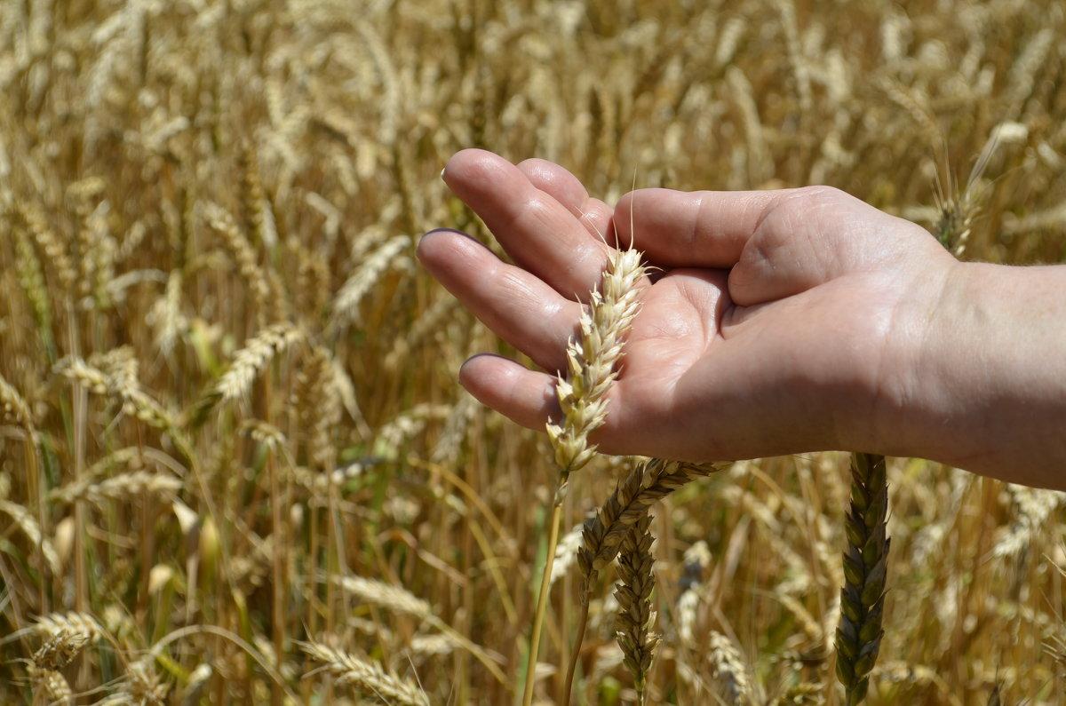 Пшеничка золотая... - Наталья Петракова