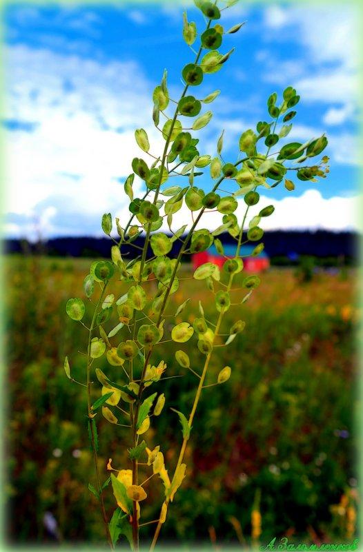 ярутка полевая  растения