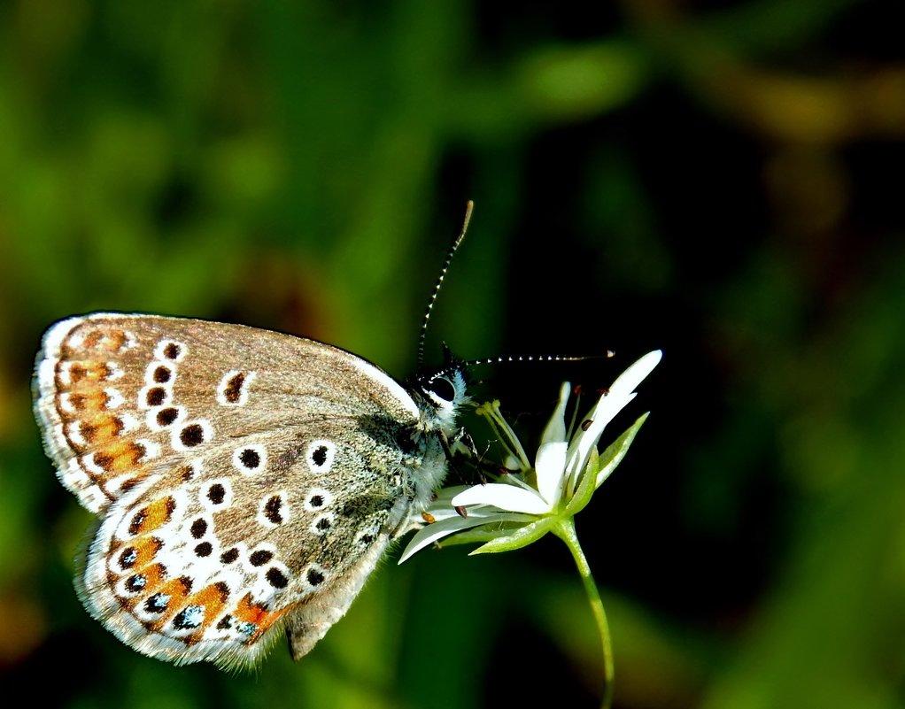 Бабочка голубянка - Татьяна Н.