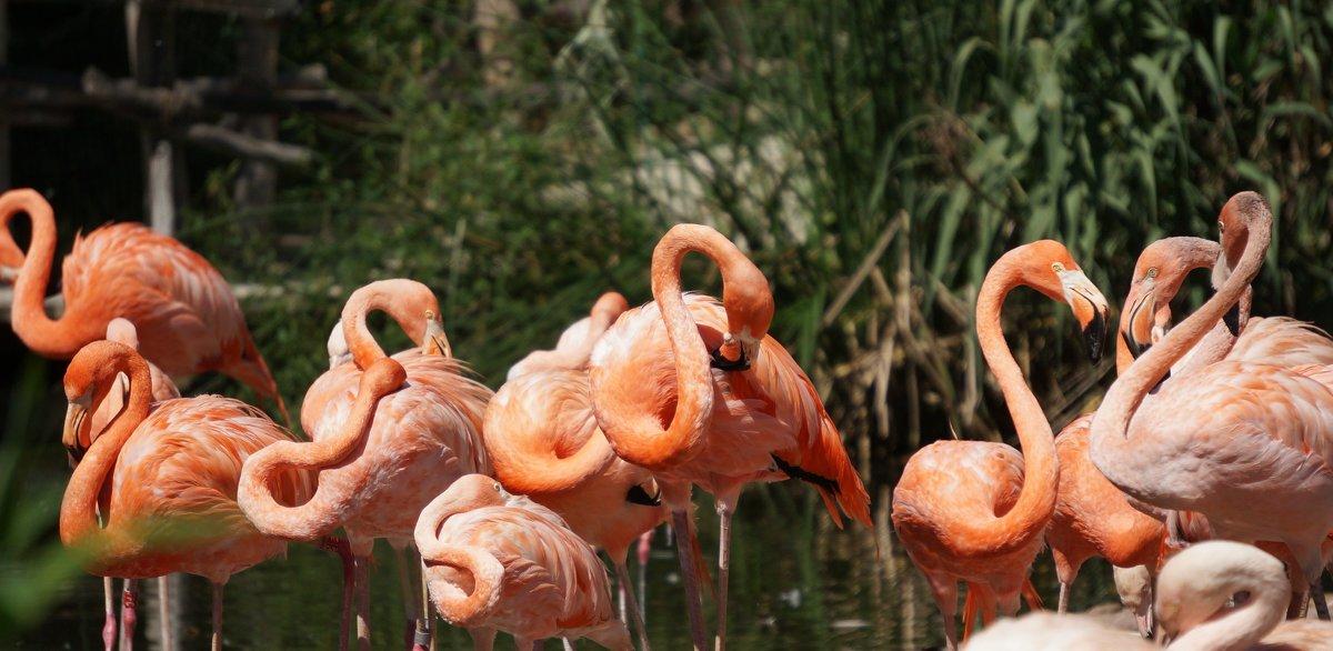 Фламинго - IURII