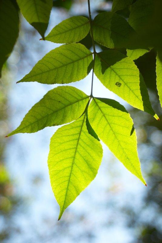 листья 6 - Дмитрий Барабанщиков