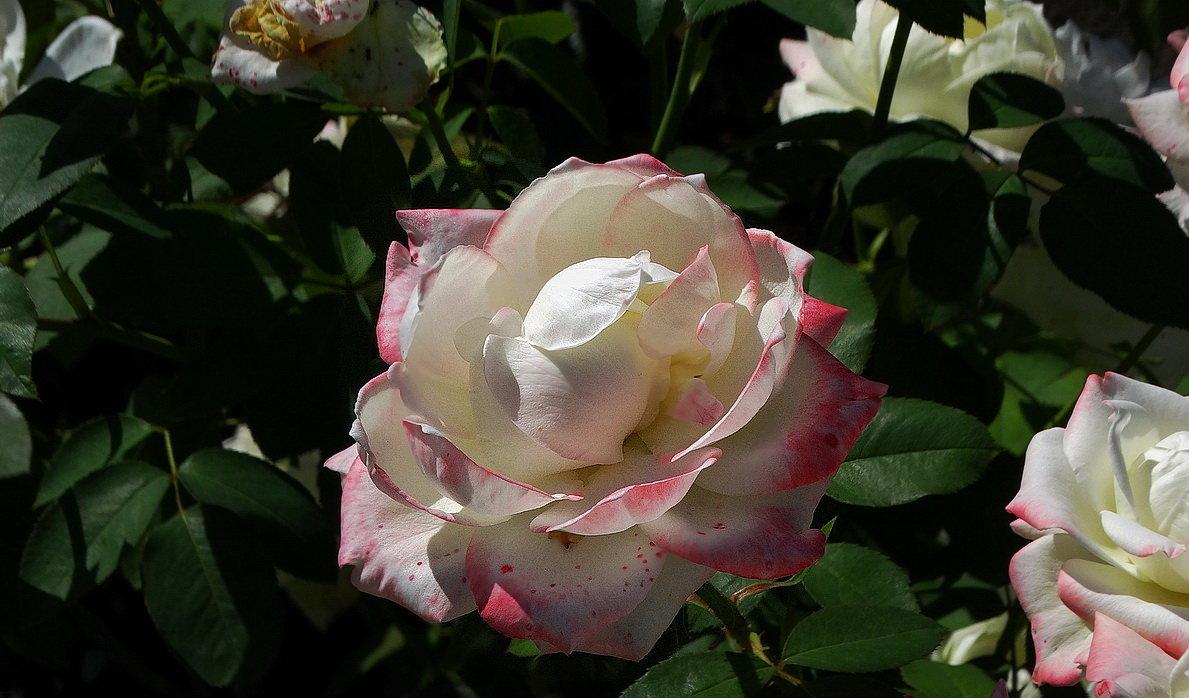 Монастырская роза - Владимир Бровко