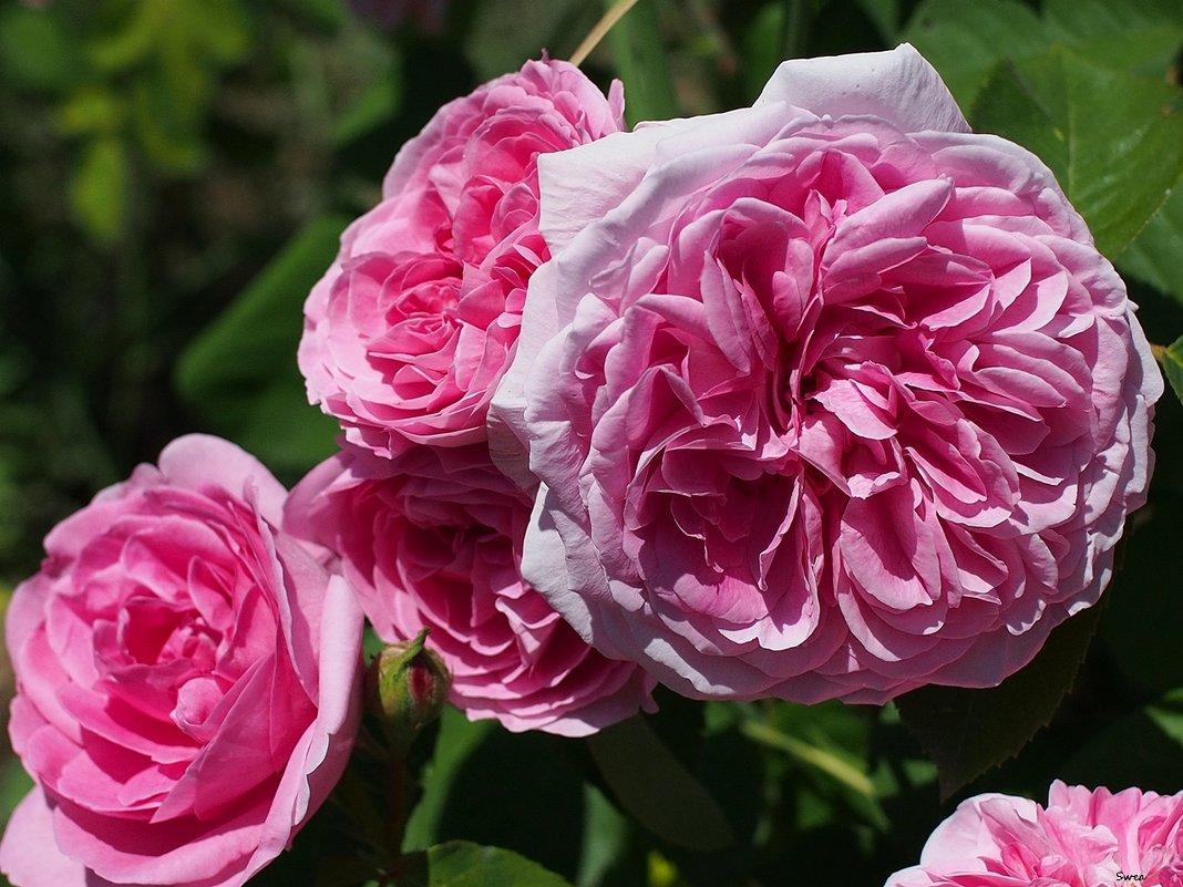 Роза Damascena - Swetlana V